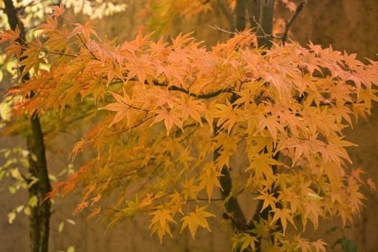 emerge leaves maple