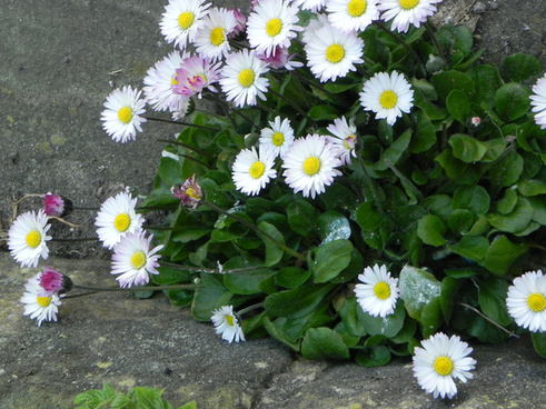 english daisies