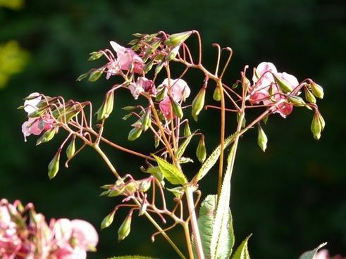 epilobium-springkraut plant flower
