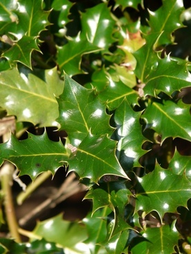 european holly leaves