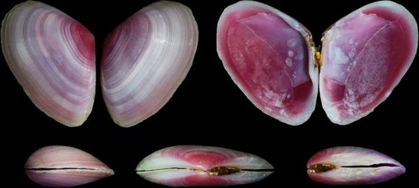 eurytellina lineata shells seashells