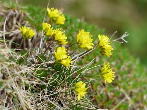 evergreen whitlow flower yellow