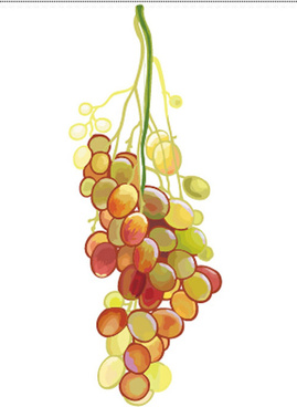 excellent hand drawn grapes vector graphics