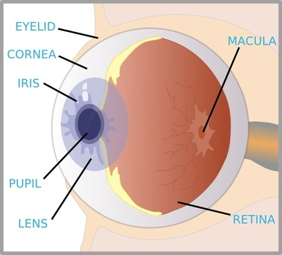 Eye With Labels clip art