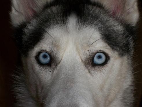 eyes blue siberian husky