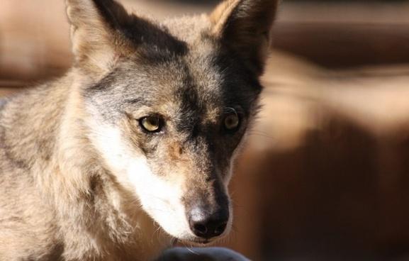 face fox portrait