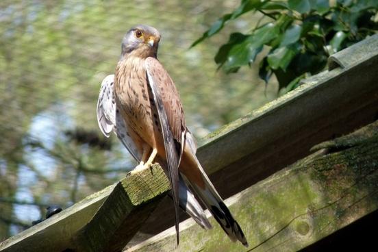 falcon bird griffin