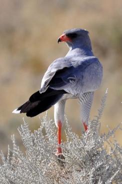 falcon move bird