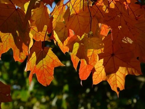 fall foliage leaves depend