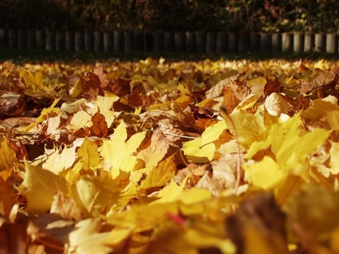 fall foliage maple leaves fallen