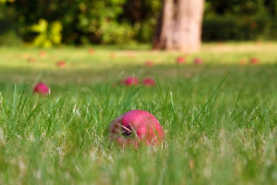 fallen apples in grass