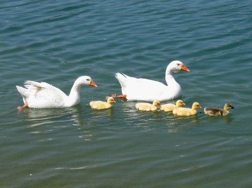 family of geese out for a swim