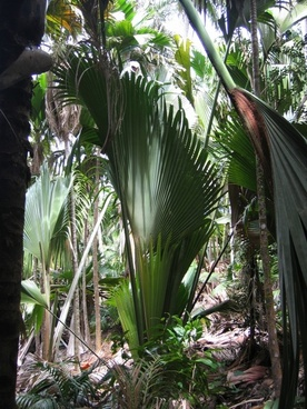 fan palm journal plant