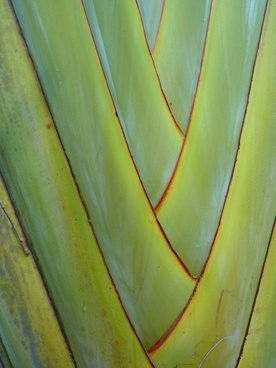 fan palm palm plant