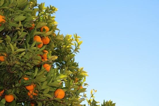 farm food fruit leaf nature orange tree up