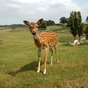fawn roe deer sika deer