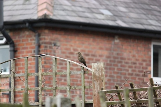 female blackbird on fence