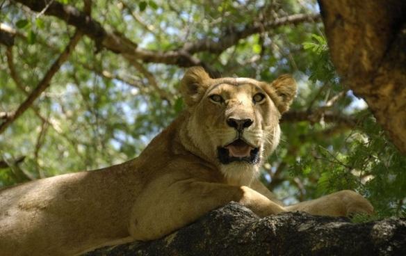 female lion lioness