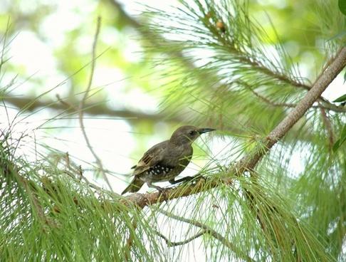 female starling bird