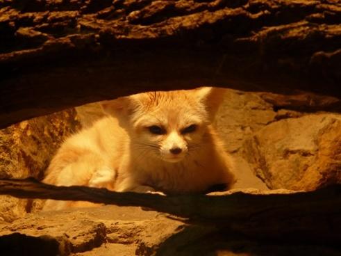 fennec fox desert fox wild dog