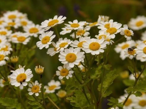 feverfew flower white