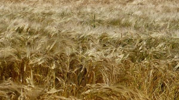 field cereals grain