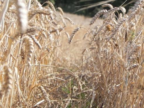 field corn track