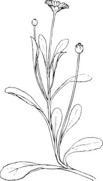 Field Daisy Plant Flower clip art