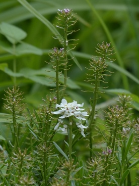 field hellerkraut flower white