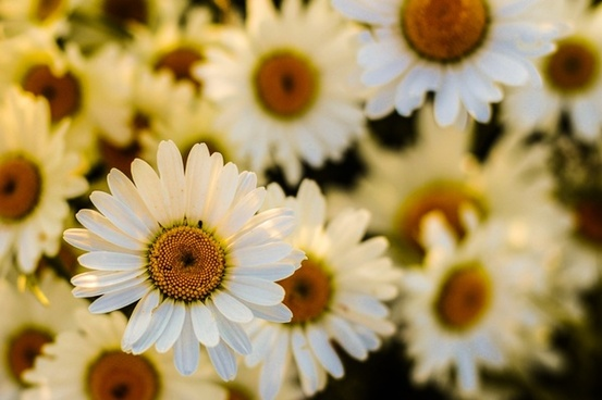 field of oxeye daisies