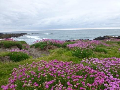 field of pink flowers ocean yachats oregon