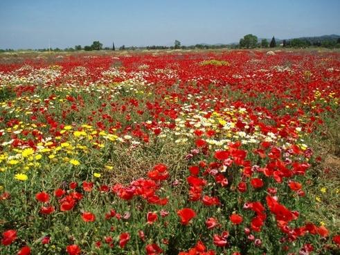 field of poppies poppy landscape