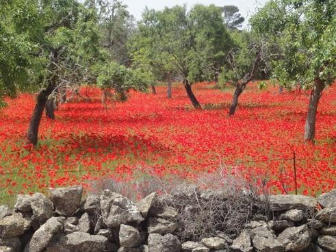 field of poppies red poppy landscape