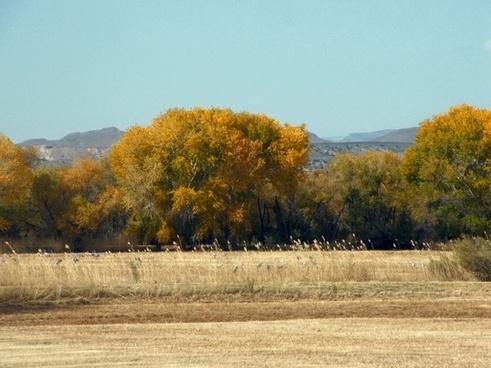 field of sandhill cranes