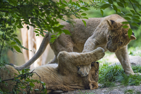 fighting lion cubs