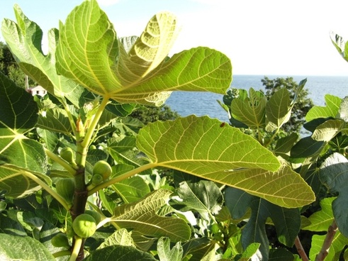 figs fruit real coward