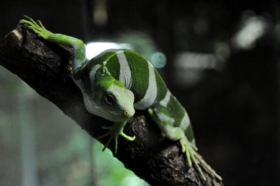 fiji iguana iguana lizard