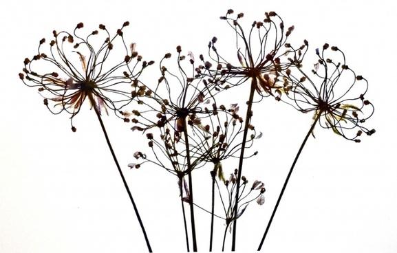 filigree dry flower