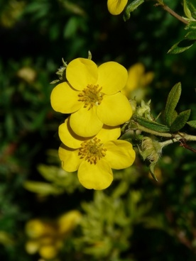 finger shrub flowers yellow