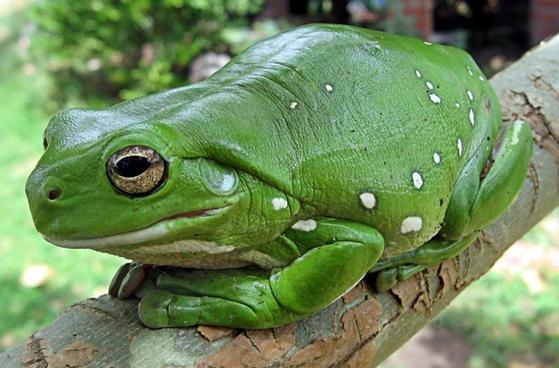 finger-coral tree frog running frog frog