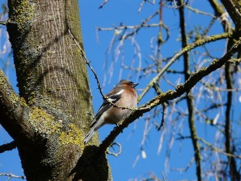 fink bird tree