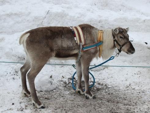 finland reindeer animal