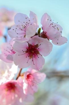 fiori di pesco spring colorful