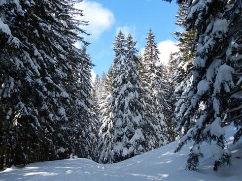 fir firs trees