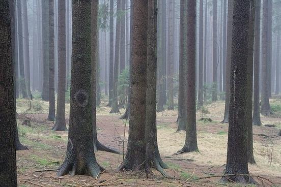 fir forest tree trunks firs