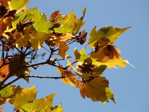 fire maple autumn small-leaf