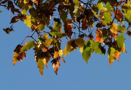 fire maple small leaf fall foliage