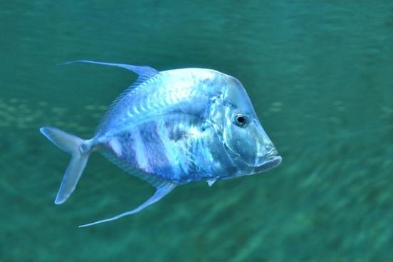 fish blue sea