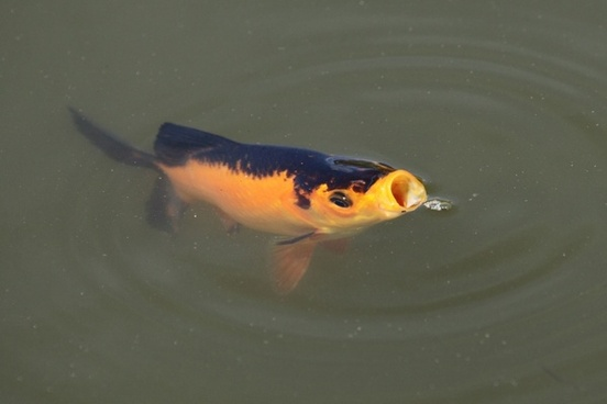 fish with open mouth