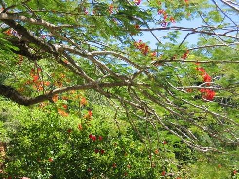 flamboyant tree flowers